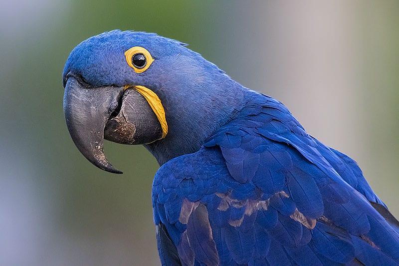 aves do cerrado