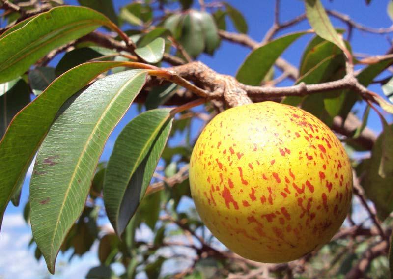 frutas do cerrado