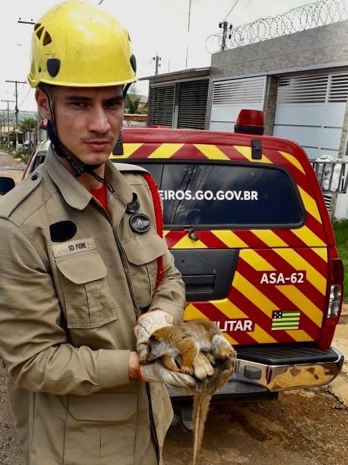 Bombeiros capturam cuíca-lanosa em calçada de casa, em Valparaíso de Goiás